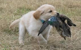 puppy GR hunting