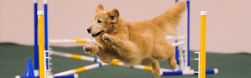The Cuyahoga Valley Golden Retriever Club